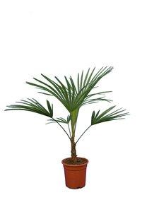 Trachycarpus sp. Nova - Gesamthöhe 80-100 cm - pot Ø 21 cm