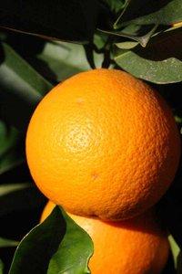Citrus sinensis - Gesamthöhe 180-200 cm - Topf Ø 35 cm