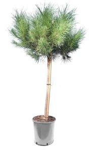 Pinus pinea Stamm 80-100 cm [Palette]