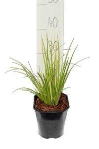 Acorus gramineus Ogon - Gesamthöhe 30-40 cm - Topf 2 ltr