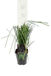 Deschampsia cespitosa Goldtau - Gesamthöhe 40-50 cm - Topf 2 ltr