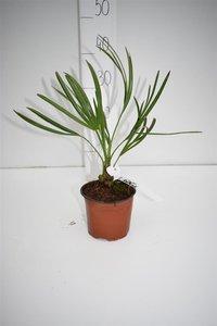 Serenoa repens - Gesamthöhe 20-30 cm - Topf Ø 13 cm