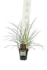 Miscanthus sinensis Kleine Silberspinne - Topf 2 ltr