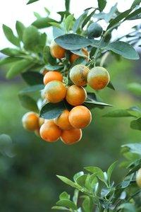 Citrus Kumquat - Gesamthöhe 120-140 cm - Topf Ø 28 cm
