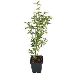Acer palmatum Butterfly - Gesamthöhe 50-60 cm - Topf 3 ltr