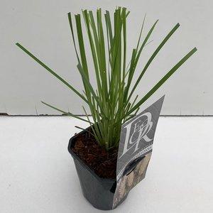 Cortaderia selloana - Topf 1 ltr