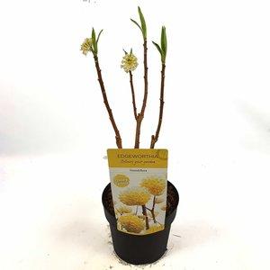 Edgeworthia chrysantha Grandiflora - Gesamthöhe 40-60 cm - Topf Ø 13 cm