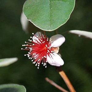 Acca sellowiana - Topf 14 x 14 cm