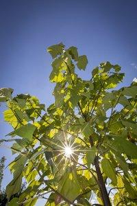 Paulownia tomentosa - Stammumfang 4-6 cm - Gesamthöhe 180+ cm - Topf Ø 35 cm