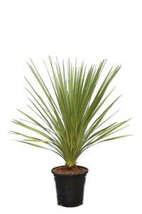 Cordyline australis total height 110-130 cm