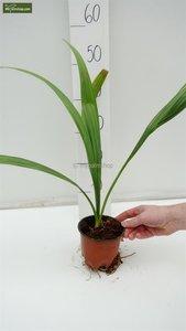 Sabal palmetto - Gesamthöhe 30-50 cm - Topf Ø 13 cm