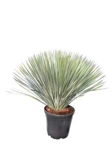Yucca rostrata - Gesamthöhe 100-120 cm - Topf Ø 38 cm