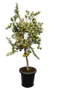 Citrus myrtifolia - Stamm 50-70 cm - Gesamthöhe 150-170 cm - Topf 40 cm [Palette]