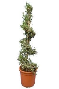 Olea europaea Spirale - Gesamthöhe 130-150 cm - Topf Ø 35 cm