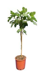 Ficus carica Brown Turkey - Stamm 60-80 cm - Ø 28 cm Topf