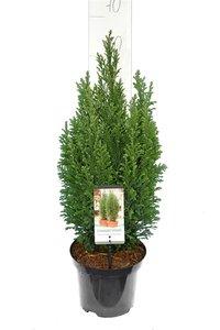 Chamaecyparis lawsoniana Elwoodii - Gesamthöhe 60-80 cm - Topf 3 ltr