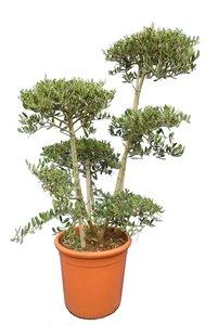 Olea europaea - Bonsai - Gesamthöhe 140-160 cm - Topf Ø 40 cm [Palette]
