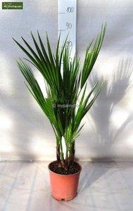 Washingtonia robusta Multistamm - Gesamthöhe 70-90 cm - Topf Ø 18cm