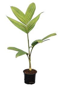 Pinanga kuhlii - Gesamthöhe 60-80 cm - Topf 13 cm