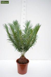 Cycas panzhihuaensis - Gesamthöhe 80-100 cm - Topf Ø 28 cm