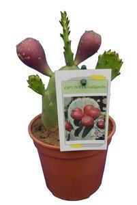 Opuntia vulgaris - Gesamthöhe 20-40 cm - Topf Ø 13 cm