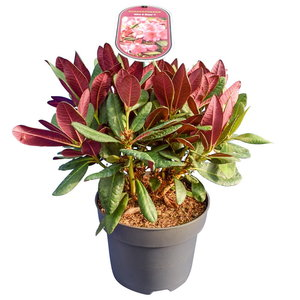 Rhododendron Wine & Roses - Gesamthöhe 35-45 cm - Topf 22 cm