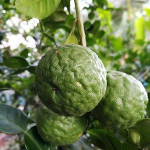 Limetten Pflanze - Citrus hystrix - Gesamthöhe 50+ cm - Topf 14 x 14 cm
