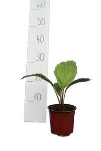 Arenga australasica - Gesamthöhe 30-40 cm - Topf Ø 14 cm